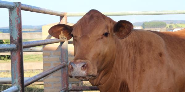 Biotecnologias estimulam crescimento do gado Senepol 5f0d7b0f0ee